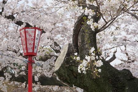 牧野公園の桜-4