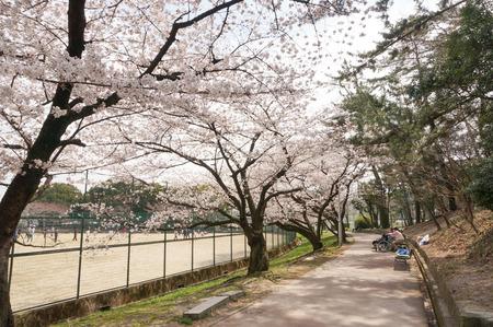 香里ヶ丘の桜-9