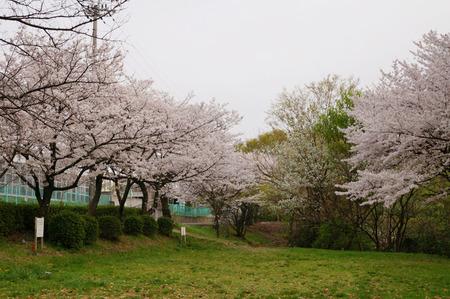 王仁公園の桜130404-05
