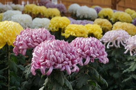 菊花展131105-07