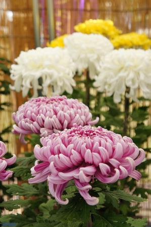 121029菊フェスティバル2012_04