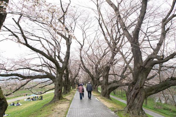 背桜道-1903301