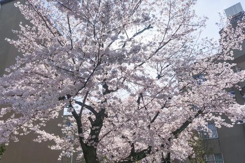 桜写真-1