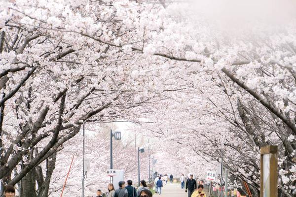 桜-1704064
