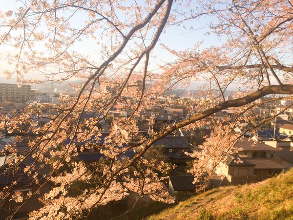 御殿山の桜-1