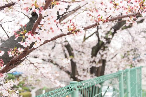 20150405桜丘村野桜-71
