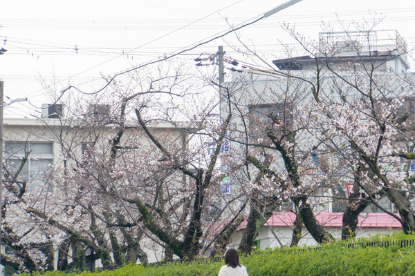 桜-2003272