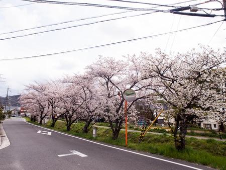 倉治桜堤-1404056