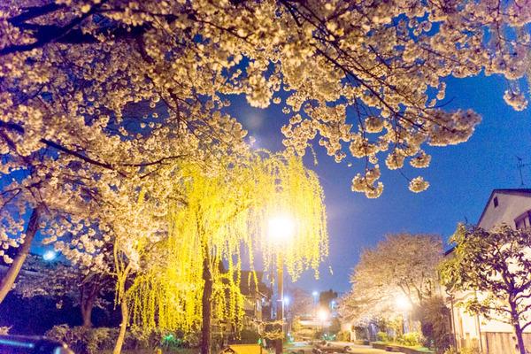 桜2-1704094