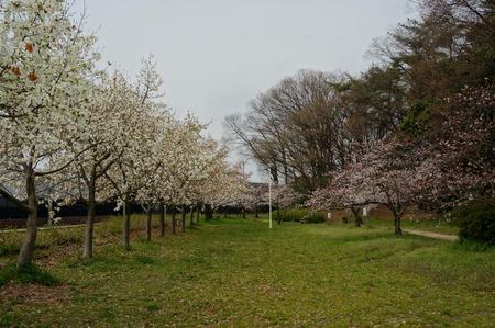 車塚公園の桜130329-03