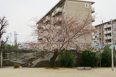 春日公園の桜130326-04
