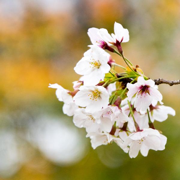 桜-2004024