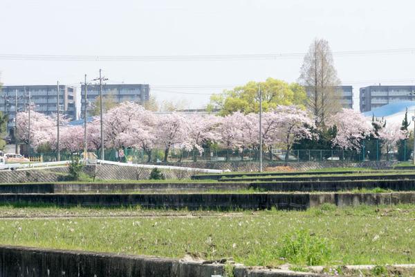 桜-1704141