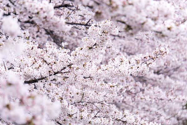 桜-1704072