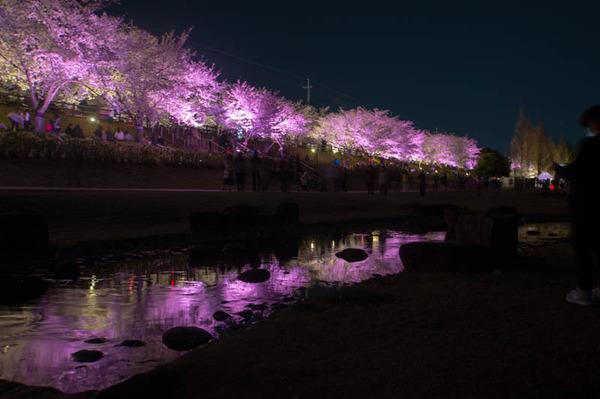 寝屋川桜-18033014