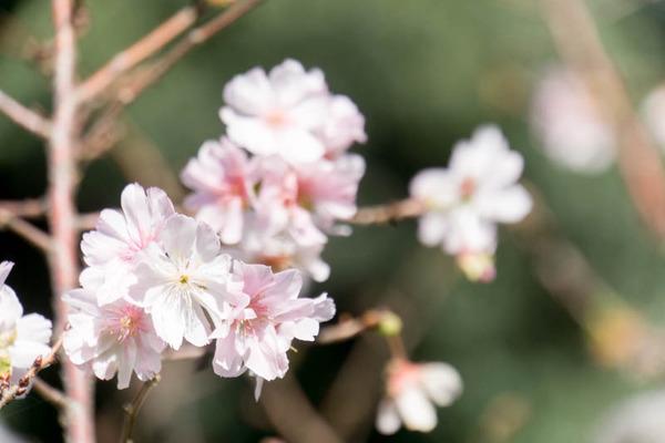桜-16102410