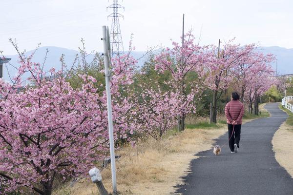 桜並木-1703163
