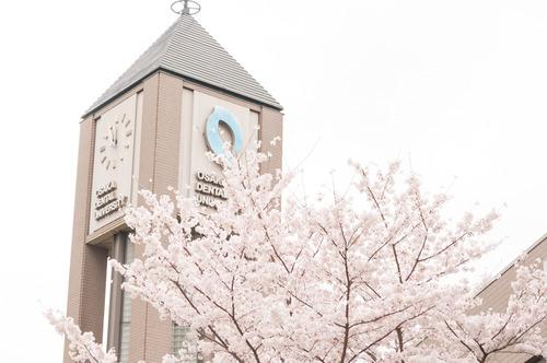 20150403くずは桜-9