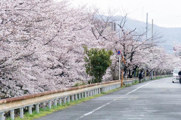 桜-1704071