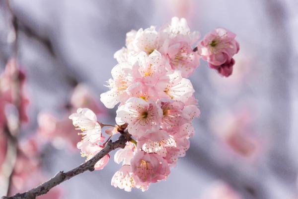 桜-16030303