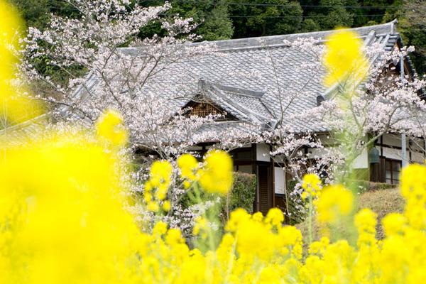 桜-1704092