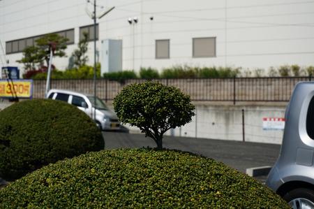ちょんまげ植木130419-08