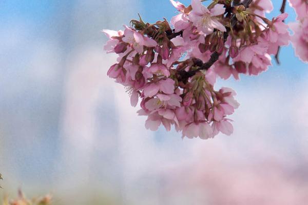 桜並木-1703161