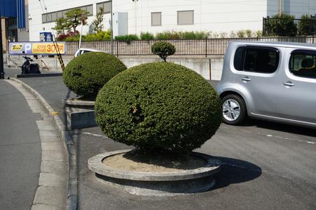 ちょんまげ植木130419-07