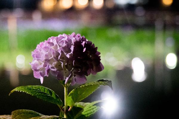 花しょうぶ-1906031