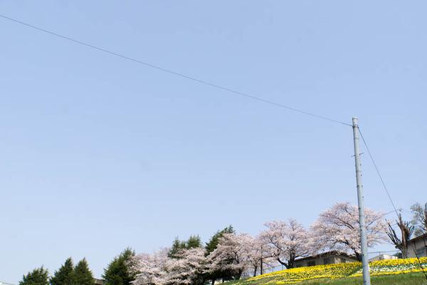 桜-1803293