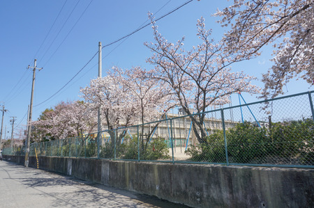 津田の桜-5