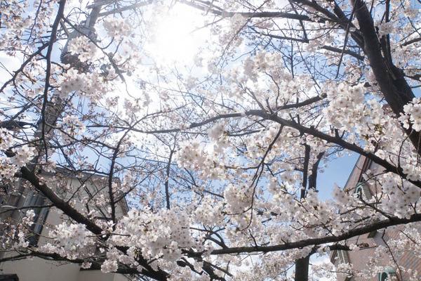 桜-1904029