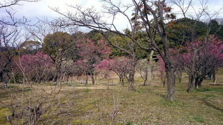 山田池公園の梅-4