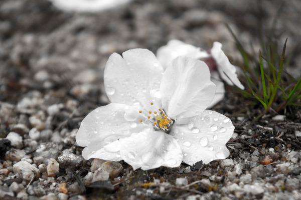 桜329-2103285