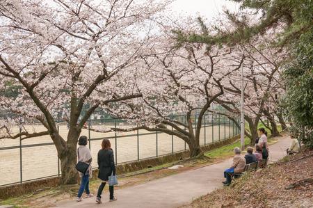 香里ヶ丘の桜-6