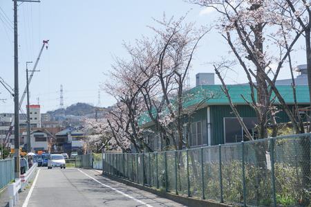津田の桜-6