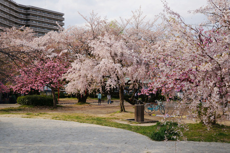 牧野公園の桜130410-03