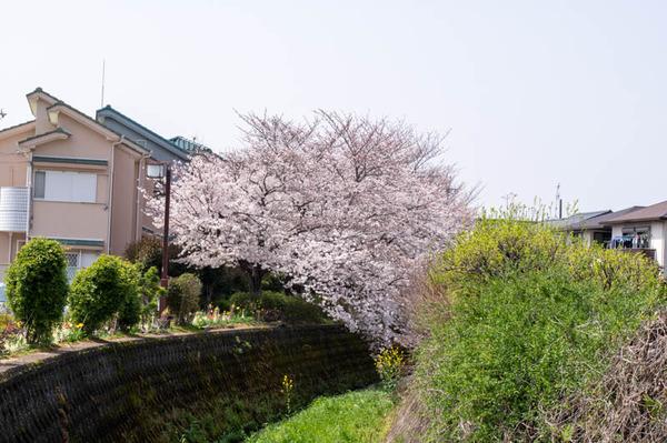 交野 桜-2103291