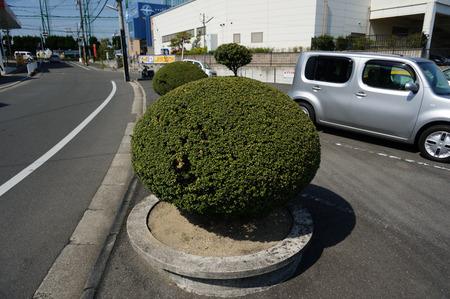 ちょんまげ植木130419-09