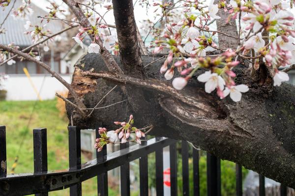 桜329-2103281-2