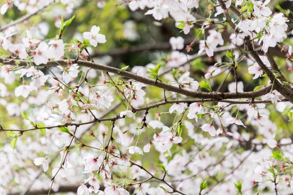 桜2-1704123