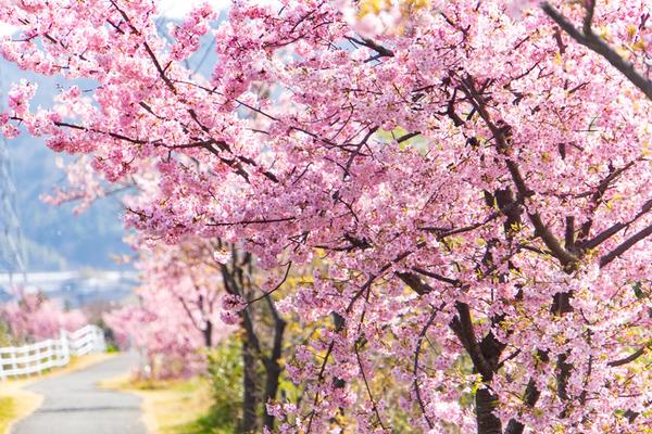 桜-2003022