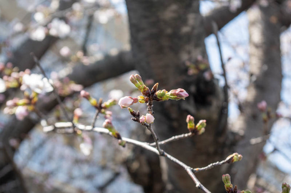 桜tuda -2103232