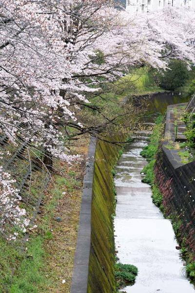 桜-1704073