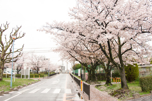 20150405桜丘村野桜-6