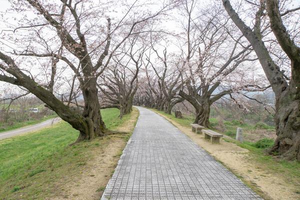 背桜道-1903301-3