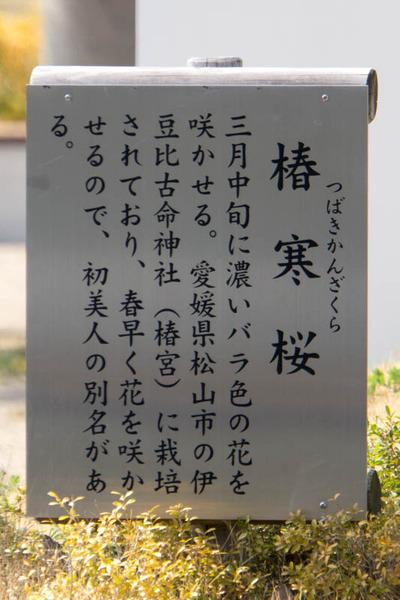 椿寒桜-1803153