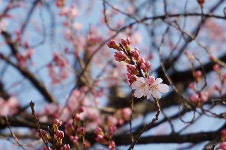 桜130319_03