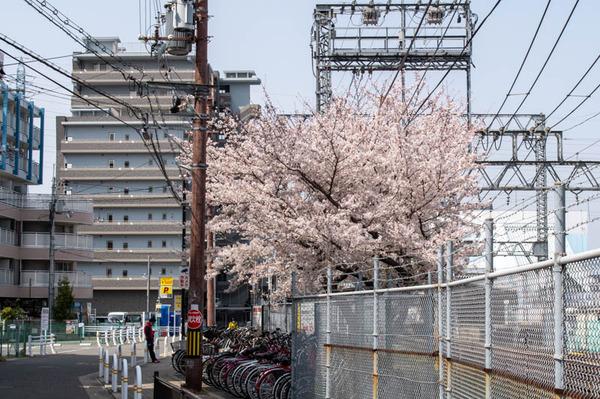 交野 桜-2103291-6