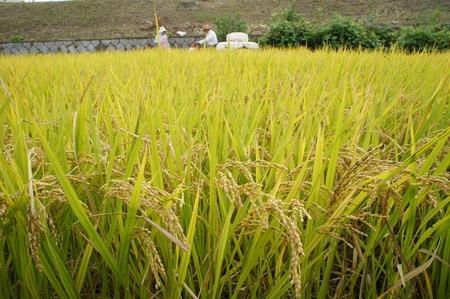 村野の米11